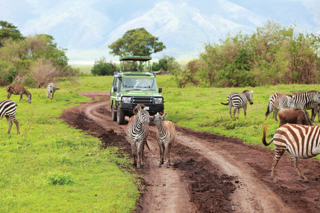 Encounter herds of zebras during a game drive