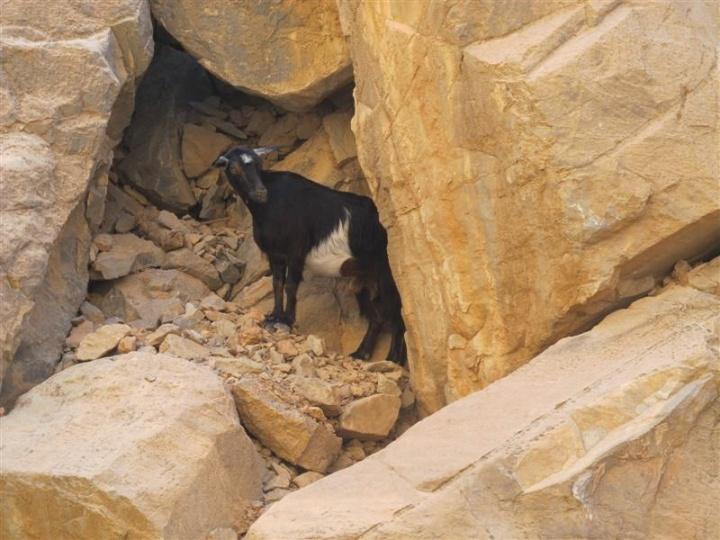Fujairah Goat 2