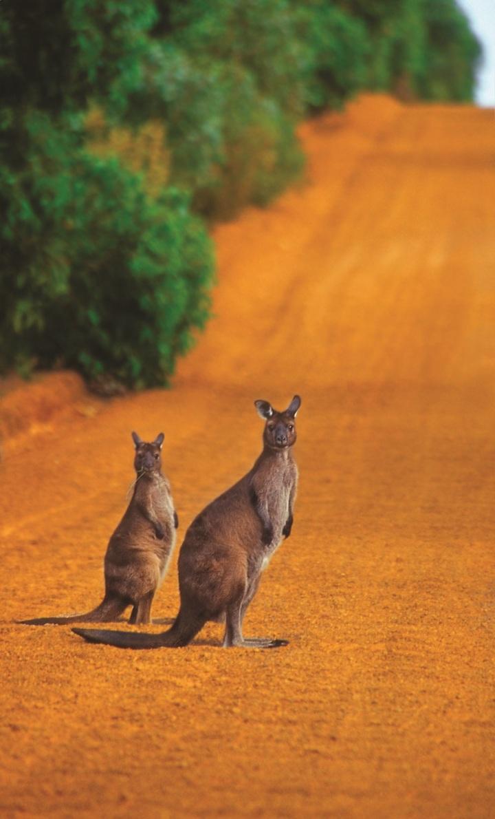 Kangaroo-jpg.jpg