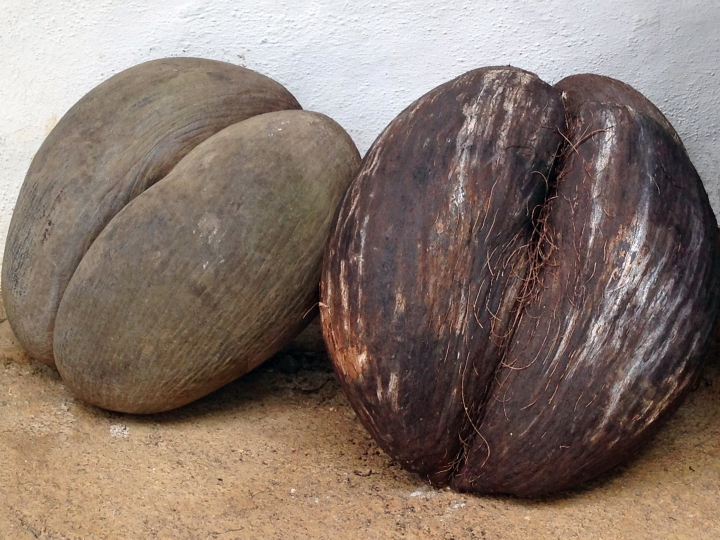 The famed coco de mer- with husk (R), and without husk (L)